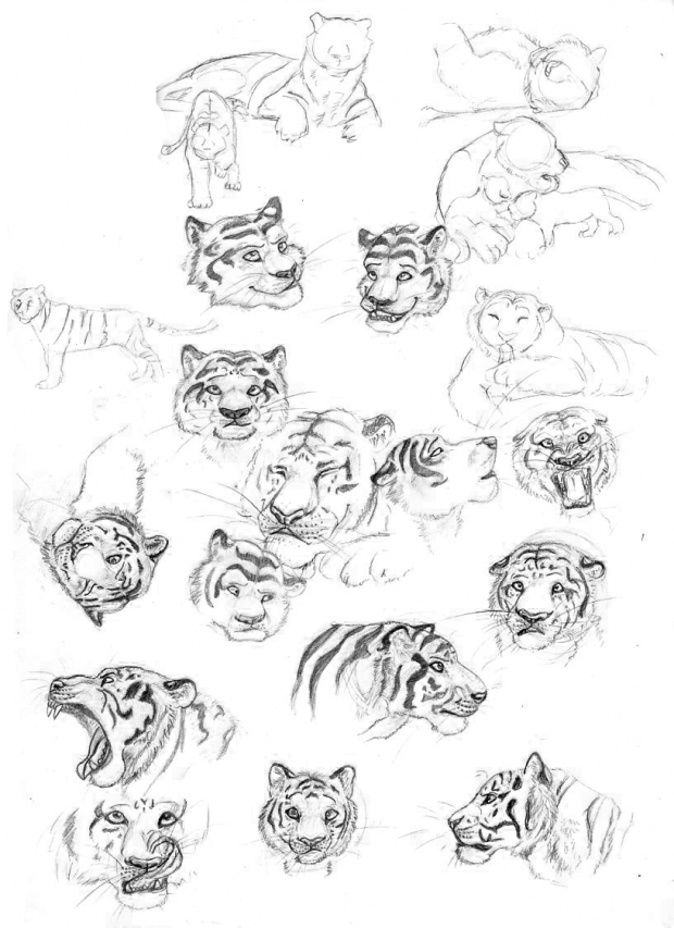 Tiger Sketch Studies