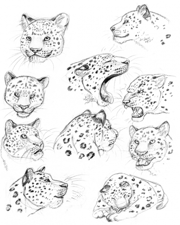 Leopard Studies
